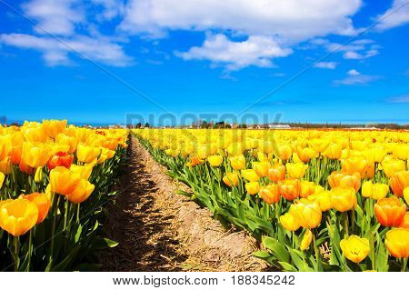 Spring red and yellow flowers tulips field. Many blooming flowers tulips.
