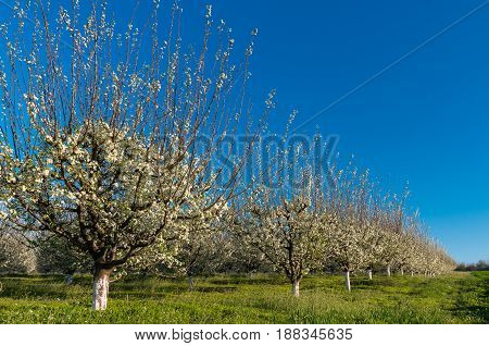 Plum trees in blossom in orchard on sunny spring day