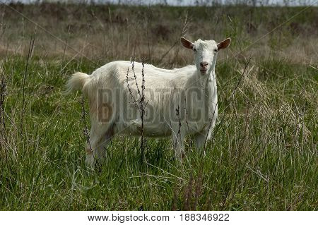 Portrait of white goat on the mountain  meadow, mountain Plana, Bulgaria