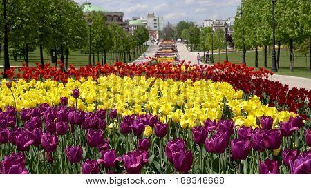 Beautiful Tulips Flower In Park.