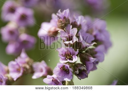 Bergenia cordifolia Bergenia crassifolia or badan blooming with purple flowers. Siberia, the Novosibirsk Region.