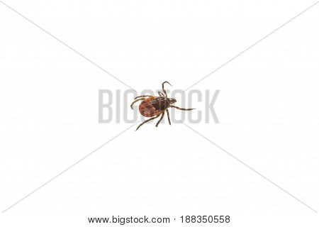Ixodes tick isolated on white background, close-up