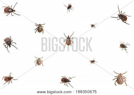Collage of isolated ixodid ticks on a white background, close-up
