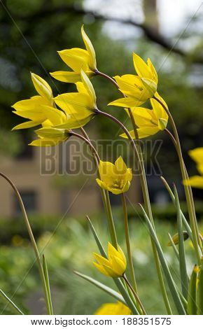 two 2 yellow Tulip in the flowerbed flowers stems