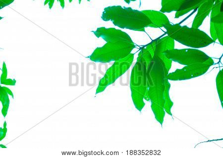 The texture of the green leaves on white background.