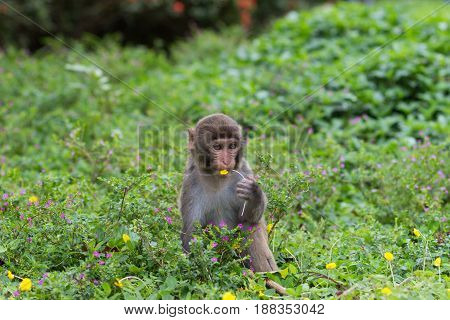 Little rhesus macaque sitting in grass holding yellow flower in paws