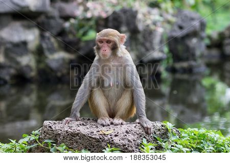 adult female rhesus monkey sits on a large stone