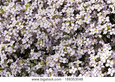 spring flowers resuh of arendsen primrose petals meadow plants