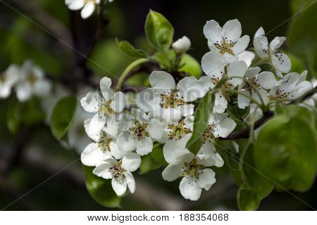 garden flowers of cherry on a branch spring bloom white petals