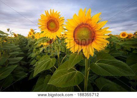 Sunflower field on summer cloudy morning (Bulgaria)