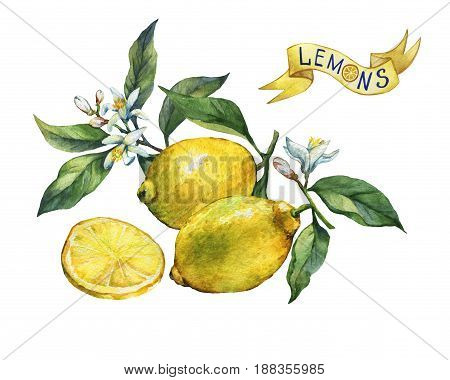 Fresh citrus fruit lemon on a branch with fruits, green leaves, buds and flowers. Label in sketch style. Hand drawn watercolor painting on white background.