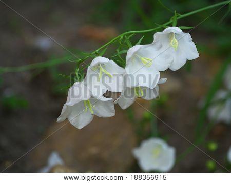 White Campanula flower Macro closeup of the white bellflower on stone background.