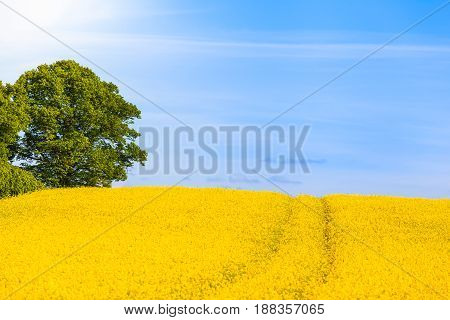 Colza field in bloom, path and tree, sunshine sky (copy space)