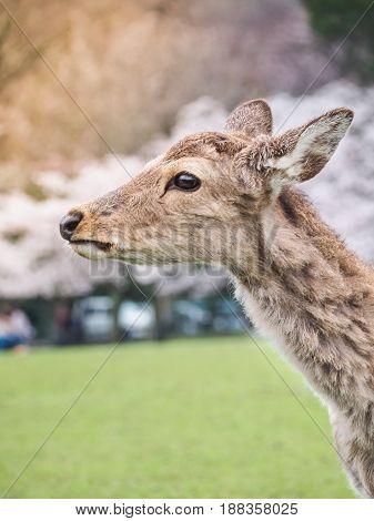 Cute deer in Nara Park, Nara City, Japan
