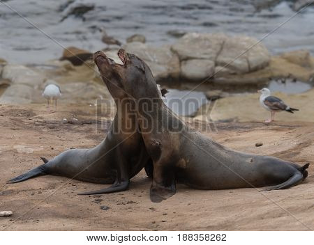 Two Sea Lions Fight on rocks along Pacific ocean