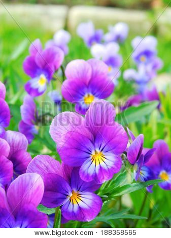 A flower bed with pansies in the garden on a sunny day