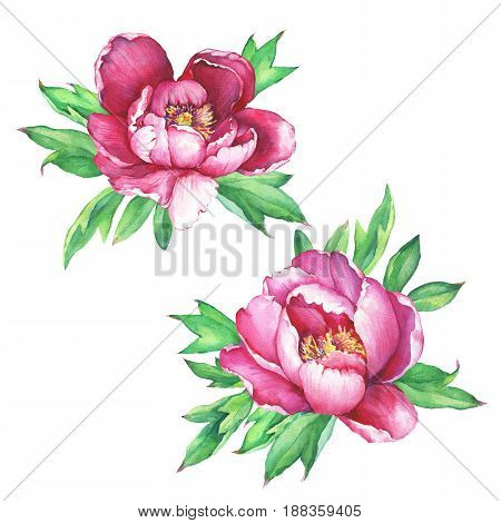 Set of flowering pink peonies (peony, paeony, paeonia), close-up. Hand drawn watercolor painting illustration on white background.