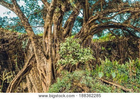 A Mangrove Swamp Walking Trees