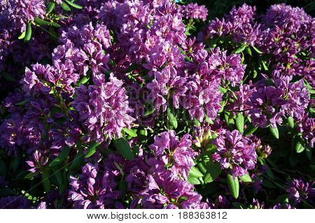 Detail of flowering purple rhododendron bush plant