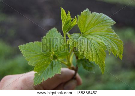 Female hand holding a young plant of black currant, selective focus, concept of world environment day