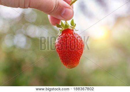 Strawberry In Hand .