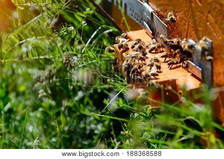 The bees at front hive entrance close-up. Apiculture