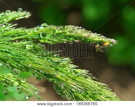 macro of grass spikes with water drop and insect after rain or morning dew.