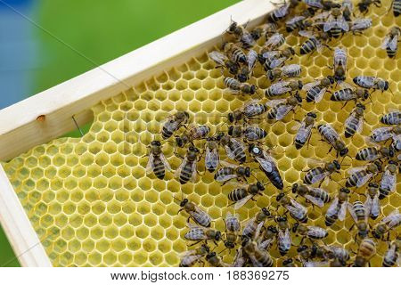 Queen bee is always surrounded by the workers - their servant. Apiculture
