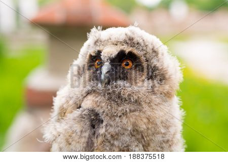 Portrait of the small owl. Just flying out of the nest, the owl looks surprised at the tourists in Ryazan