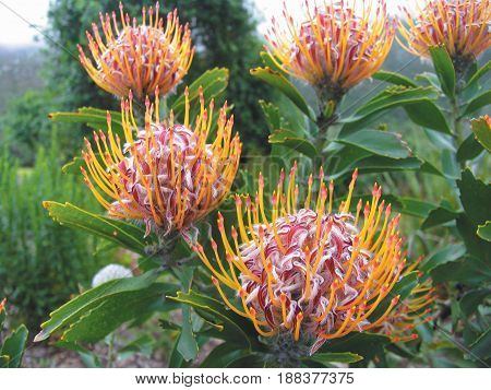 FROM CAPE TOWN, SOUTH AFRICA, PIN CUSHION PROTEAS 24xfc