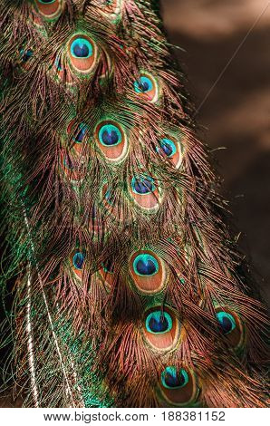 tail of a blue peacock. feathers peacock background pattern