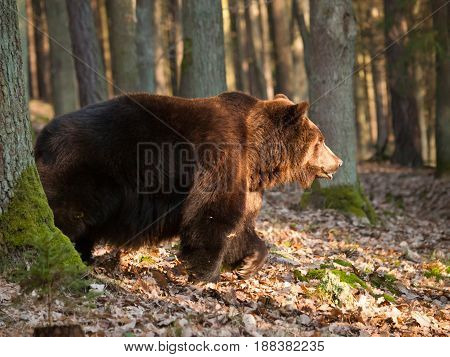 Common brown bear walk in forest in springtime - Ursus arctos