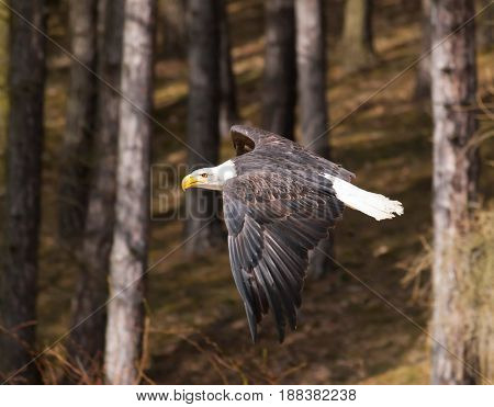 White-headed sea eagle flying near forest - Haliaeetus leucocephalus