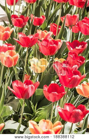 Red and yellow tulips on a flower bed with a sunny day