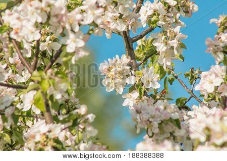 Flowers of an apple tree on a background of blue sky macro close