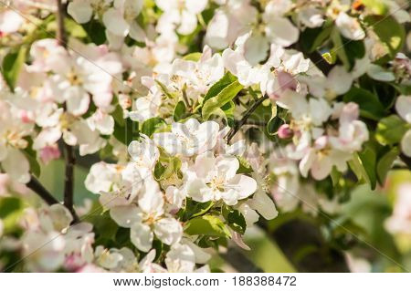 Spring blossom: branch of a blossoming apple tree on garden background close