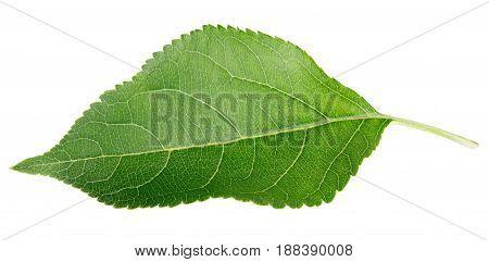 Single green apple leaf isolated on white background