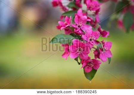 Red apple tree blossoms over beautifully blurred green natural background in early May