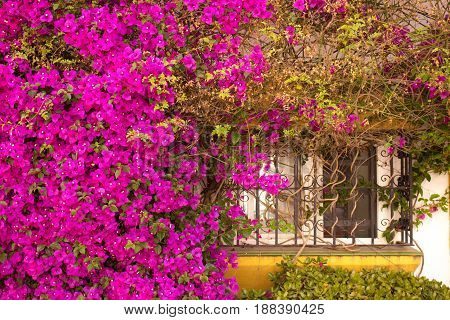 Window. Beautiful pink flowers and window. Puerto Banus, Marbella, Andalusia, Spain.