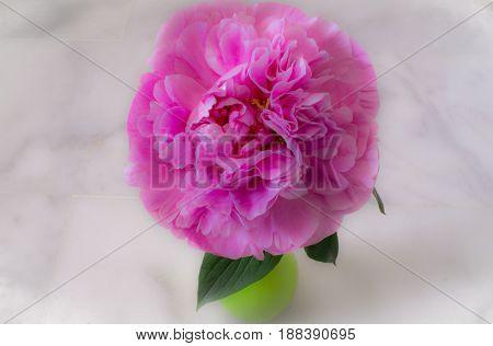 Peony. Beautiful pink flower. Fresh garden plant.