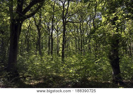 Oak Woodland In Late Spring