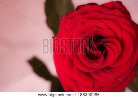 Rose. Beautiful red flower. Nature design. Macro.