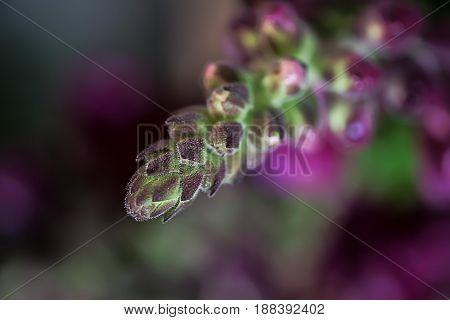 Purple buds of Matthiola garden flowers macro