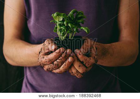 Fresh garden herbs. Gardener holding fresh basil, close-up.