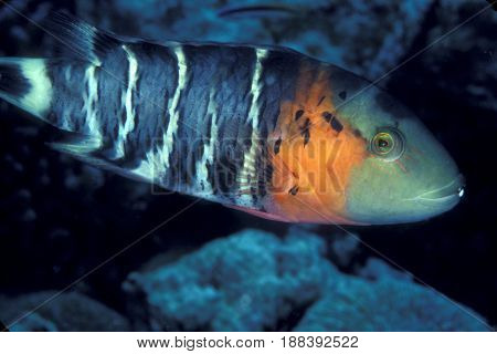 A Red Breasted Wrasse (Cheilinus fasciatus) on a reef in the Kwajalein Atoll in the Pacific