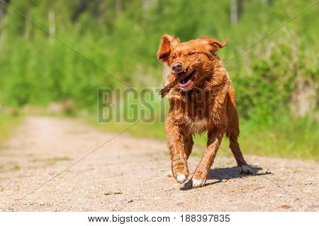 Nova Scotia Duck Tolling Retriever On A Forest Path