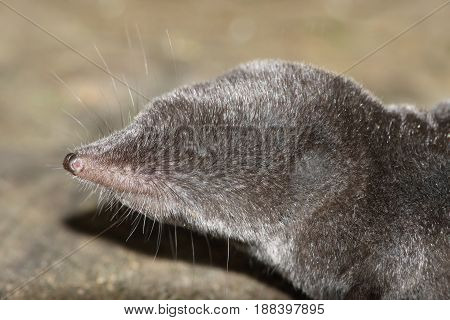 Northern Short-tailed Shrew (Blarina brevicauda) close-up in spring