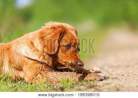 Portrait Of A Nova Scotia Duck Tolling Retriever
