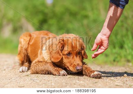Nova Scotia Duck Tolling Retriever Lies On A Path