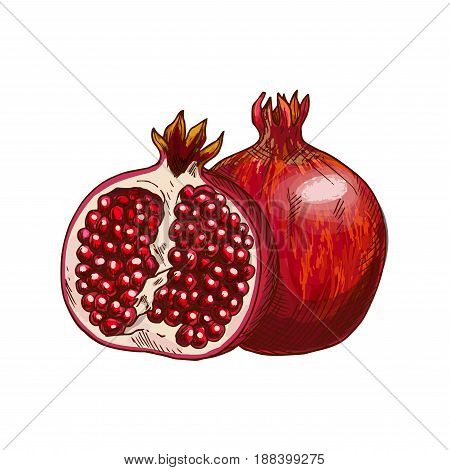 Pomegranate fruit isolated sketch. Ripe red garnet fruit with juicy seeds symbol for natural organic juice label, healthy vegetarian dessert recipe, food packaging design